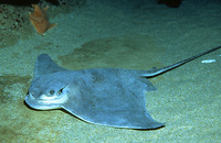 Myliobatis californica, Bat eagle ray: aquarium