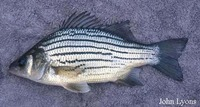 Morone mississippiensis, Yellow bass: gamefish