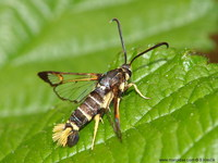 Synanthedon vespiformis - Yellow-legged Clearwing