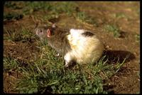 Image of: Rattus norvegicus (brown rat)