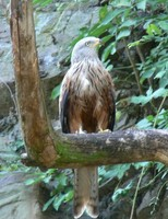 Milvus milvus - Red Kite