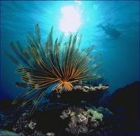 Image of: Crinoidea (feather stars and sea lillies)