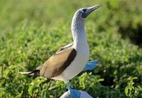 Photo: Blue-footed booby in the Galapagos Islands