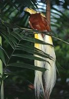Photo: A captive lesser bird of paradise perched in a tree