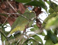 Blue-capped Fruit Dove - Ptilinopus monacha