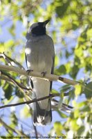 Black-faced Cuckoo-shrike - Coracina novaehollandiae
