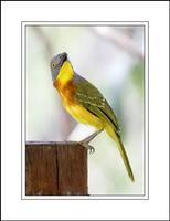 Grey-headed Bush Shrike (Malaconotus blanchoti)