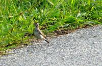 [Lark Sparrow at Villas, first discovered by Sean Bamford on CMBO walk.  Photo by George Myers].