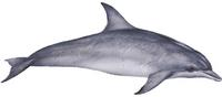 Grosser Tümmler (Tursiops truncatus), Common bottlenose