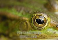 Eye of an edible frog ( Rana esculenta ) stock photo
