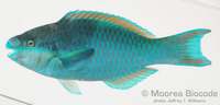 : Scarus oviceps