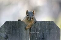 : Sciurus niger; Eastern Fox Squirrel
