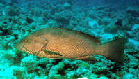 Epinephelus chlorostigma, Brownspotted grouper: fisheries
