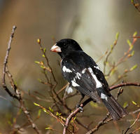 Image of: Pheucticus ludovicianus (rose-breasted grosbeak)