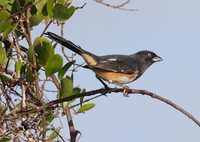 Eastern Towhee (Pipilo erythrophthalmus) photo