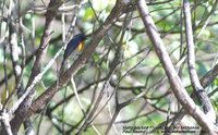Slaty-backed Flycatcher - Ficedula hodgsonii