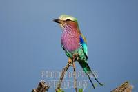 Lilac-breasted roller (Coracias caudatus) . Etosha National Park . Namibia stock photo