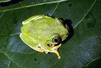 : Leptopelis flavomaculatus; Yellow-spotted Tree Frog