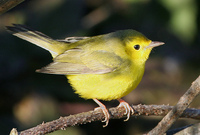 : Wilsonia citrina; Hooded Warbler (female)