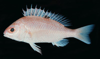 Parascolopsis aspinosa, Smooth dwarf monocle bream: fisheries