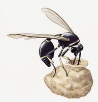 Image of: Eumenes fraternus (potter wasp)