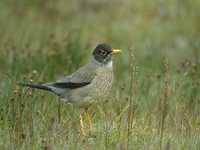Austral Thrush (Turdus falklandii) photo