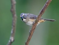 Grayish Saltator (Saltator coerulescens) photo