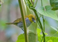 Yellow-throated Bush-Tanager - Chlorospingus flavigularis