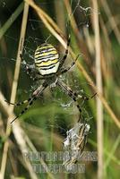 Wasp spider ( Argiope bruennichi ) with caught cricket stock photo