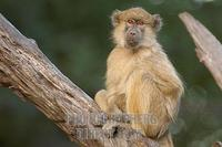portrait of a yellow baboon stock photo