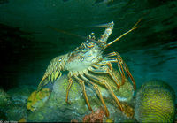 : Panulirus argus; Spiny Lobster