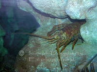 : Panulirus interruptus; California Rock Lobster