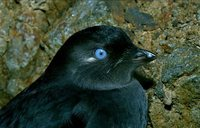 picture of Aethia Pygmaea Whiskered Auklet