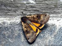 Noctua pronuba - Large Yellow Underwing