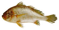 Larimus breviceps, Shorthead drum: fisheries, bait