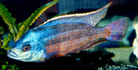 Protomelas taeniolatus, Spindle hap: aquarium