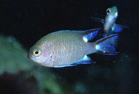 Chromis trialpha, Trispot chromis: