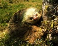 Image of: Choloepus hoffmanni (Hoffmann's two-toed sloth)