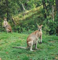 Image of: Macropus agilis (agile wallaby)