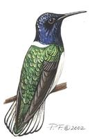 Image of: florisuga mellivora (white-necked jacobin)