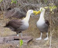 Image of: Phoebastria irrorata (waved albatross)