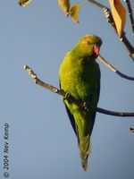 Olive-headed Lorikeet - Trichoglossus euteles