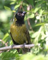 Crimson-Collared Grosbeak - Rhodothraupis celaeno