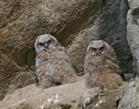 Great Horned Owl Chicks June 06