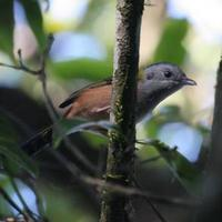 Black-headed  Shrike Babbler, Mount Victoria