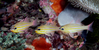 : Apogon cyanosoma; Yellow-striped Cardinalfish