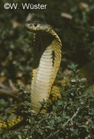 : Naja sumatrana; Equatorial Spitting Cobra