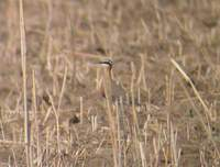 Indian Courser (Cursorius coromandelicus) 2005. január 6. Sonkhaliya Closed Area