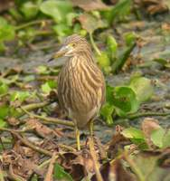 Indian Pond Heron (Ardeola grayii) 2005. január 17. Delhi, Okhla