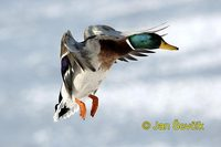 Photo of kachna divoká, Anas platyrhynchos, Mallard, Stockente